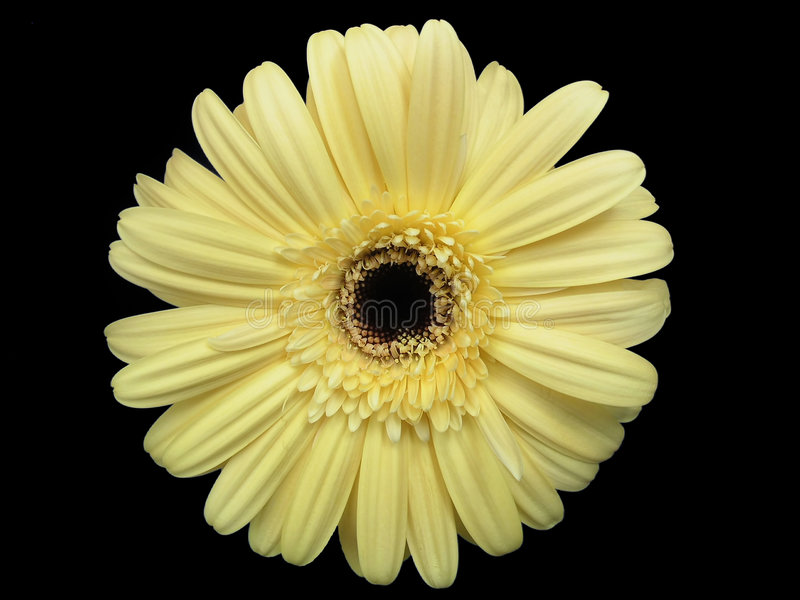 Gerbera Daisy op Zwarte stock foto's