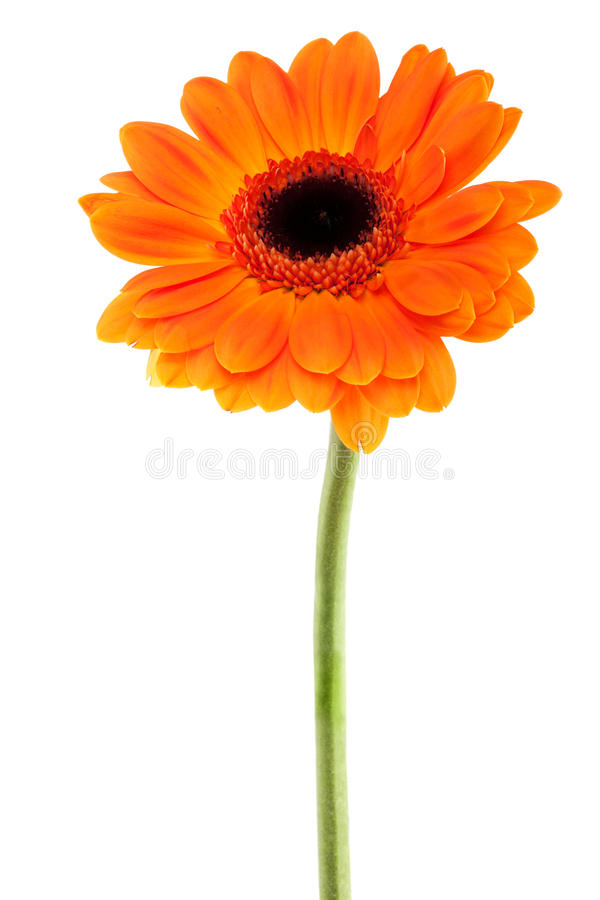 Free Gerbera Daisy Orange Stock Photography - 23430842