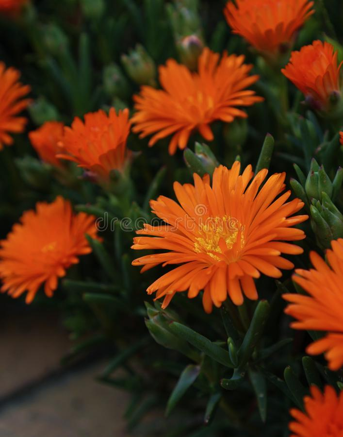 Gerbera Daisy Orange Color Flowers fotografie stock libere da diritti