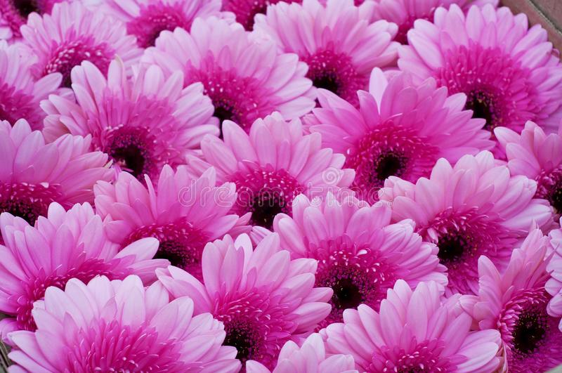 Gerbera Daisy plant with pink flowers in bloom. Flower rainbow background royalty free stock photos
