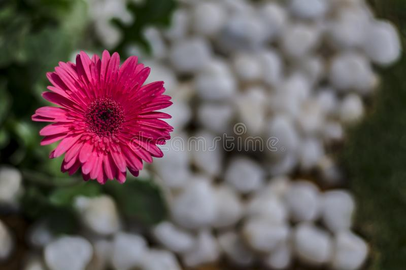 Gerbera Daisy Showing up - with white pebbles blurred background royalty free stock images