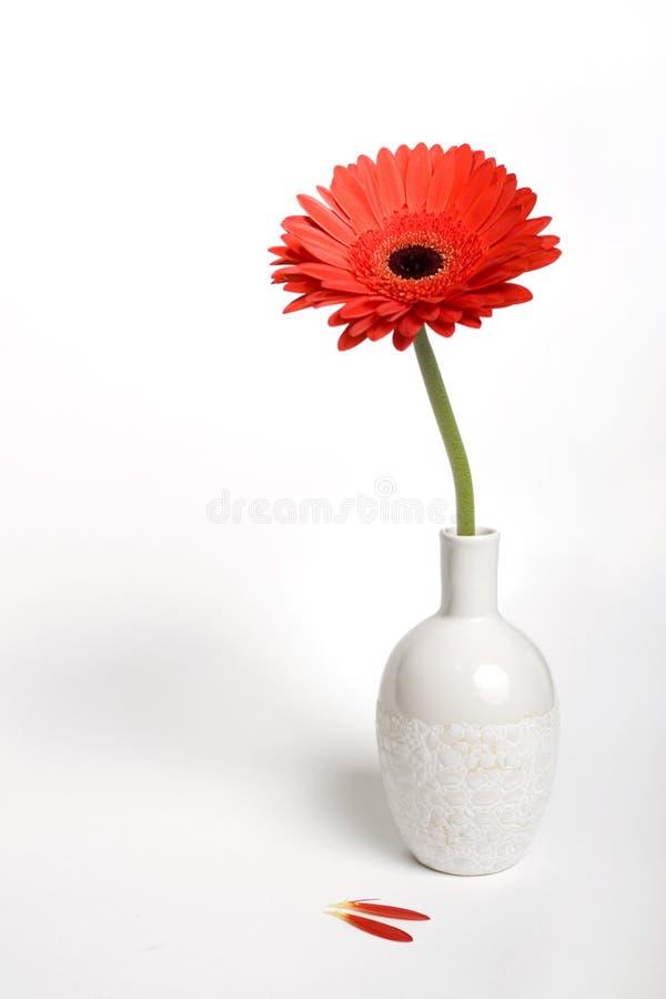 Gerbera daisy in a vase royalty free stock image