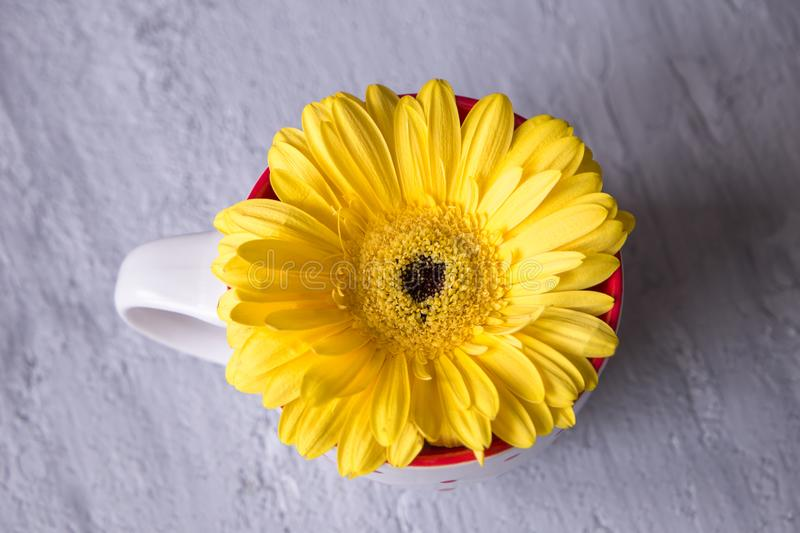 Gerbera daisy yellow flower im tea cup on grey background stock photos
