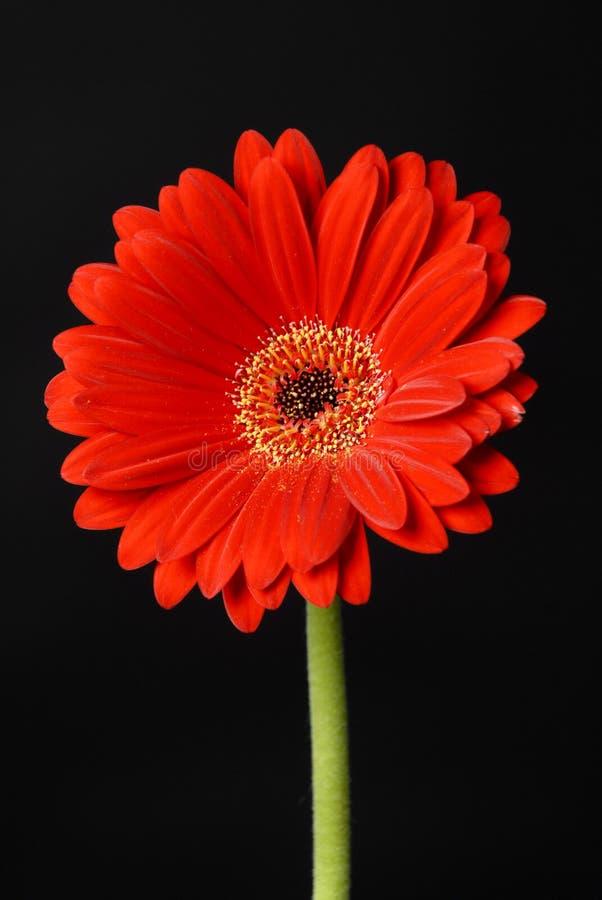 Gerbera das flores fotos de stock royalty free