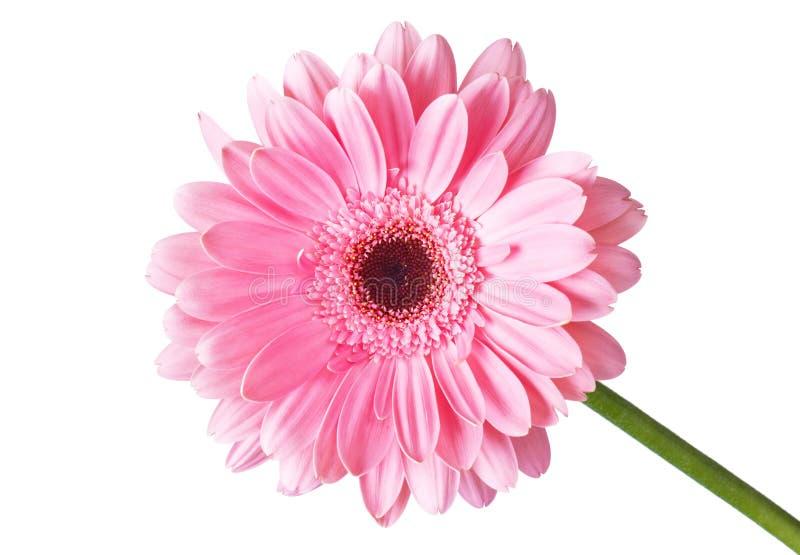 Gerbera del fiore fotografia stock libera da diritti