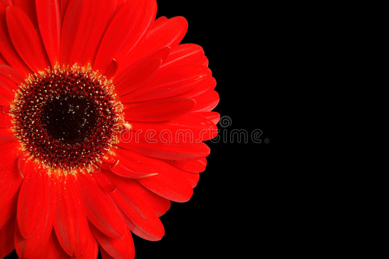 Gerbera detail on black. Detail of a vivid red gerbera isolated on a black background with copy space royalty free stock image