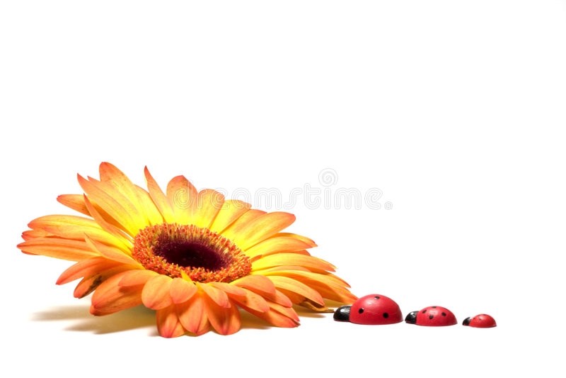 Gerbera e ladybugs fotos de stock royalty free