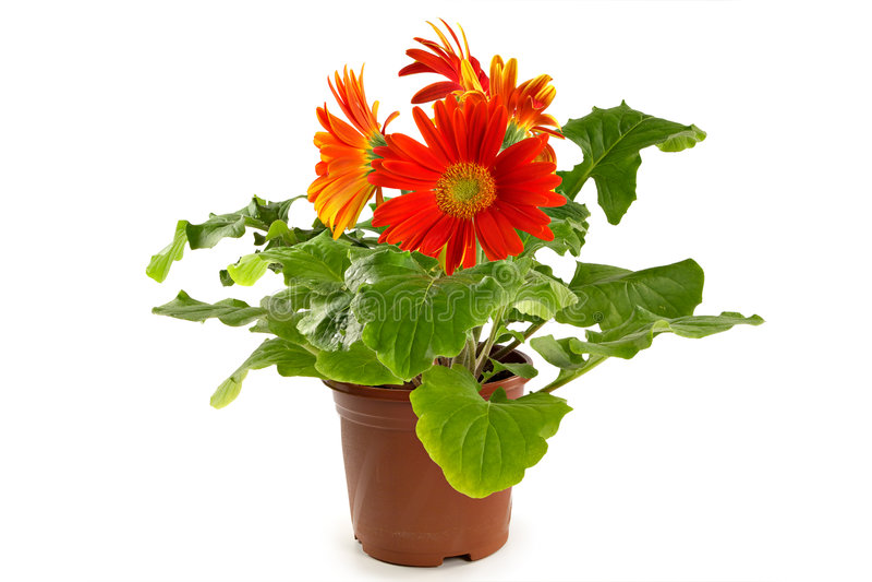 Gerbera em um flowerpot foto de stock royalty free