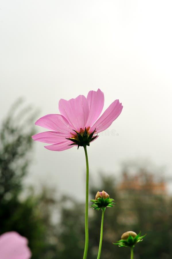 Gerbera exceptionnel en nature image stock