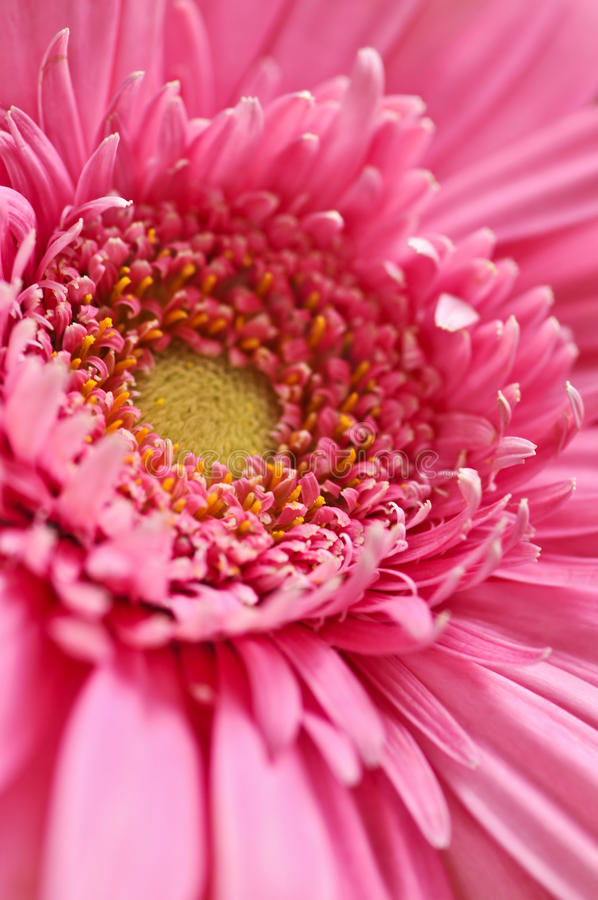 Gerbera flower stock images