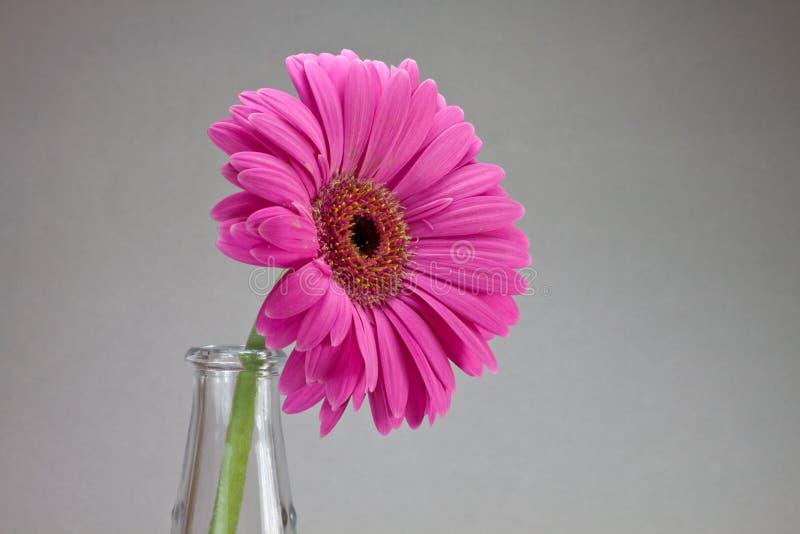 Gerbera flower stock photos