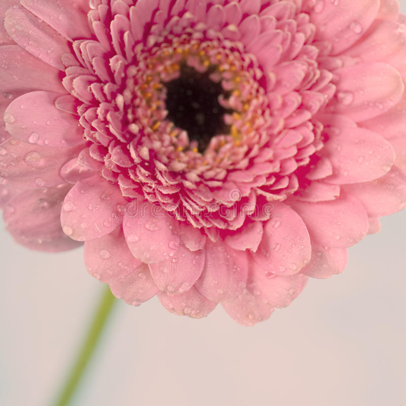 Gerbera flower. Close up abstract of colorful pink daisy gerbera flower royalty free stock photo