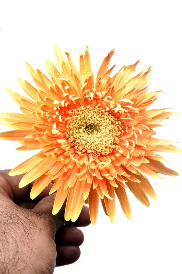 Download Gerbera Flower Stock Photos - Image: 9675453