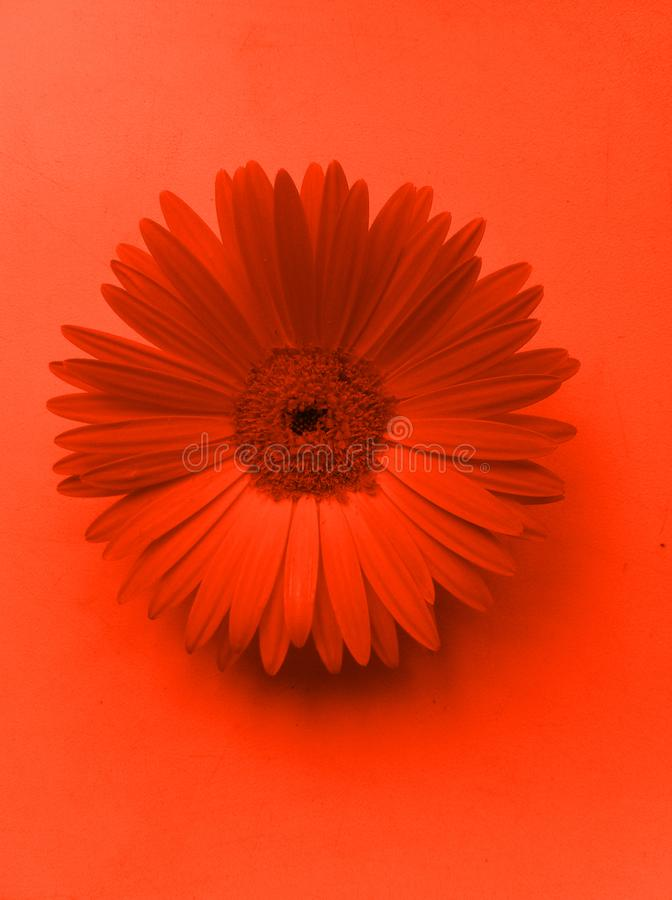 Gerbera flower. Close-up photo in red color. Pop art style royalty free illustration