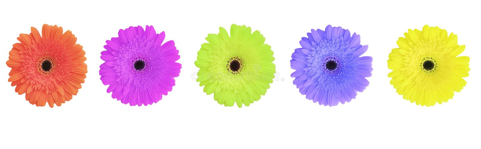 Gerbera flower color isolated set stock images
