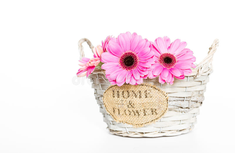 Gerbera flower isolated royalty free stock photo
