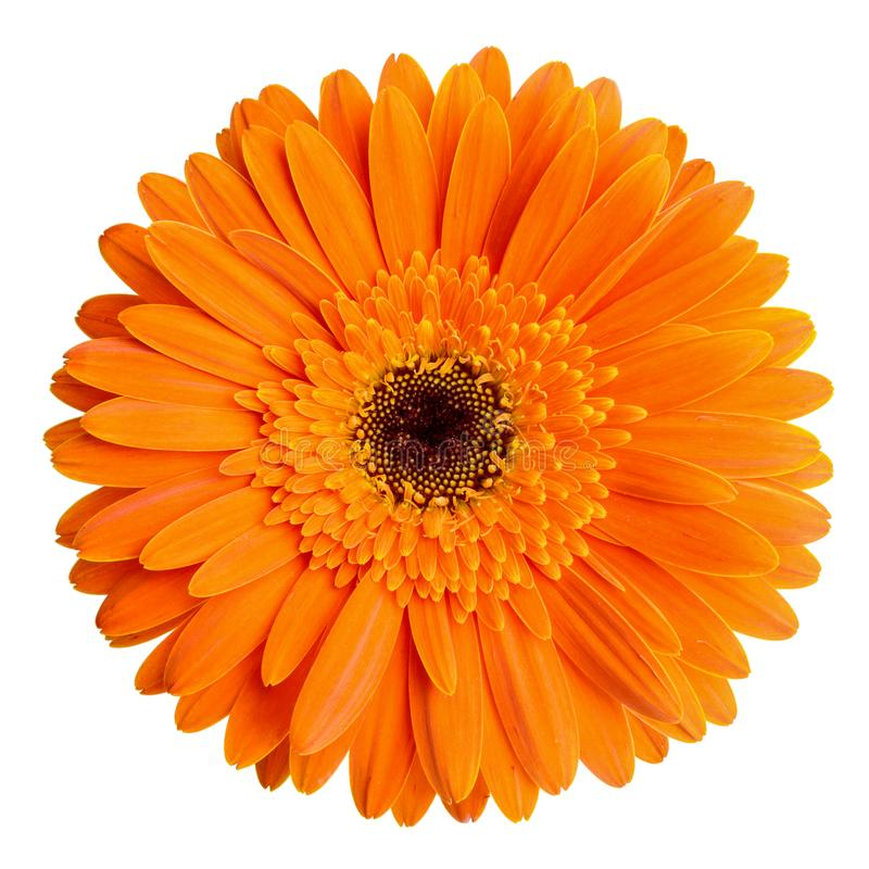 Gerbera flower isolated on white background.  stock photos