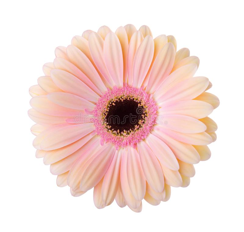 Gerbera  flower  isolated on white background. Gerbera flower isolated on white background stock photography