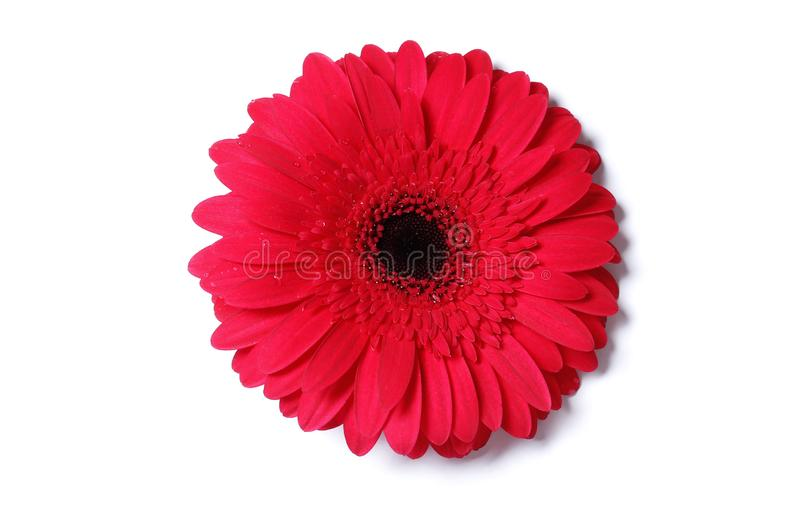 Gerbera flower isolated on white background. Detail women symbol health royalty free stock photography