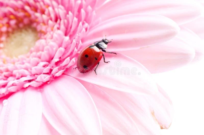 Gerbera flower and ladybug