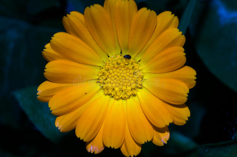 Gerbera flower with long dense petals of orange color and yellow core, on which sits a black insect. Macro. Gerbera flower with long dense petals of orange color royalty free stock images