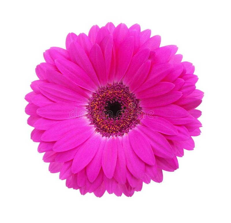 Gerbera flower of magenta color isolated on white background.  royalty free stock photos