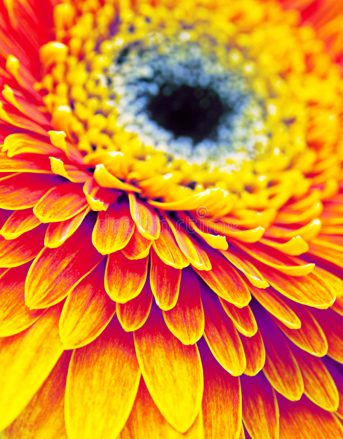 Download Gerbera flower stock image. Image of daisy, orange, bright - 34112457