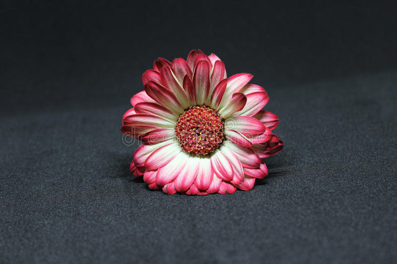 Gerbera flower stock image