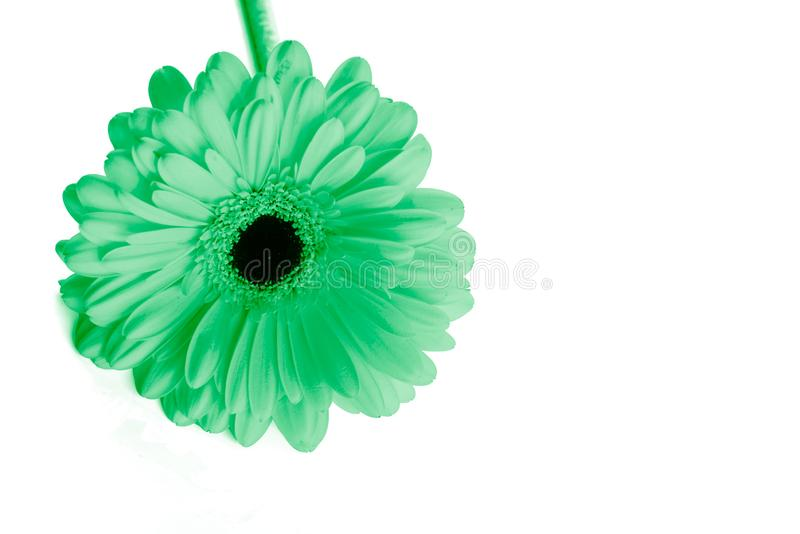 Gerbera flower is painted in neon mint color. Trend color royalty free stock photos
