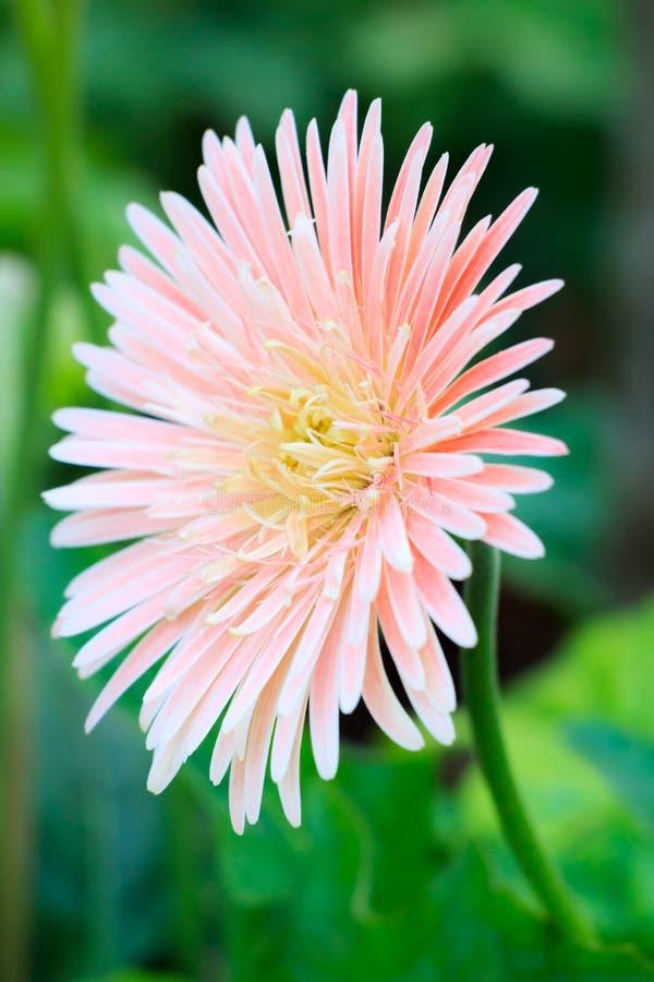 Gerbera flower. Pink Gerbera flower, Thai science name is Gerbera jamesonii royalty free stock image