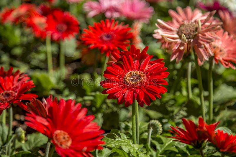 Gerbera flower plant color. Cultive royalty free stock images