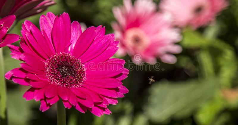 Gerbera flower plant color. Cultive royalty free stock photos