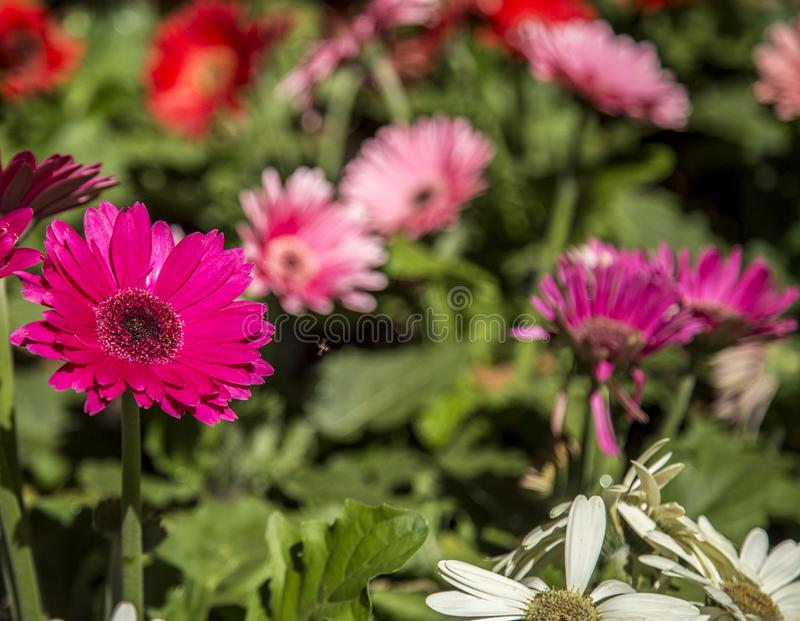 Gerbera flower plant color. Cultive stock photography