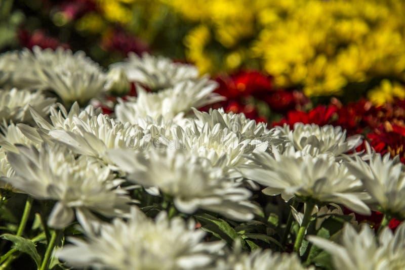 Gerbera flower plant color. Cultive stock images