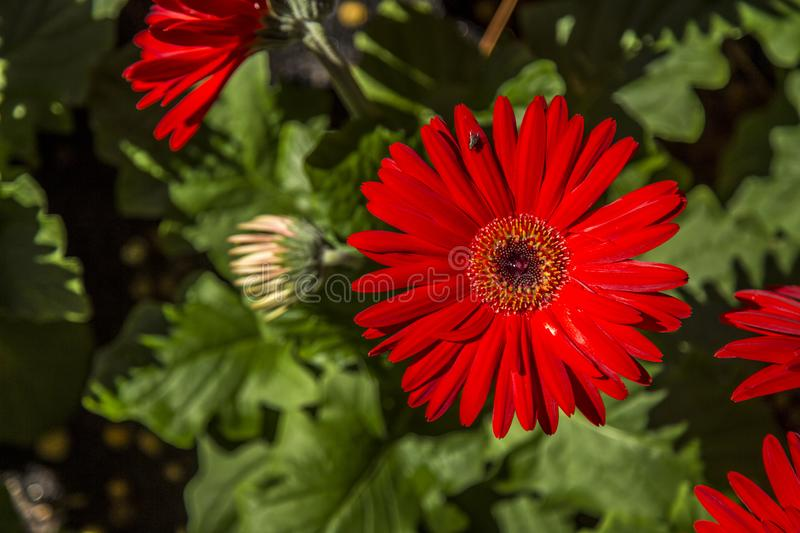 Gerbera flower plant color stock image