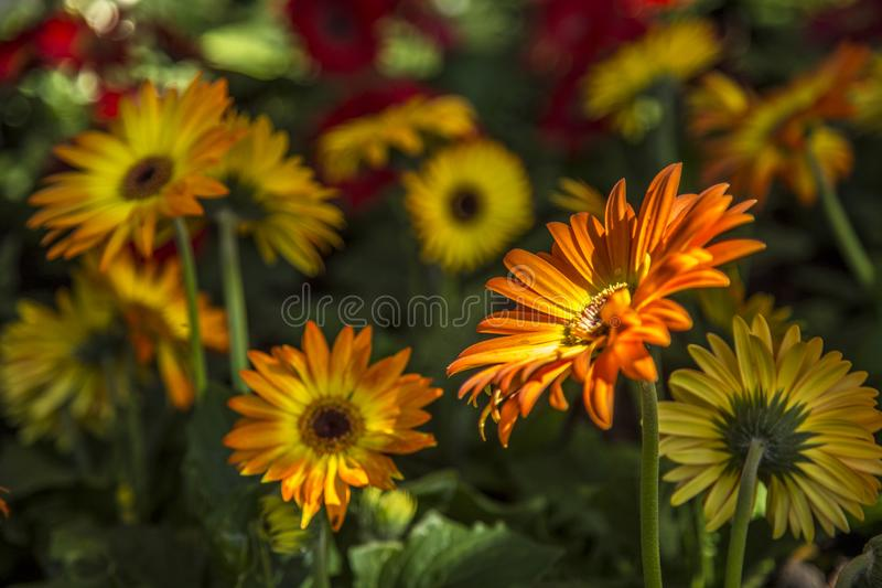 Gerbera flower plant color royalty free stock photo