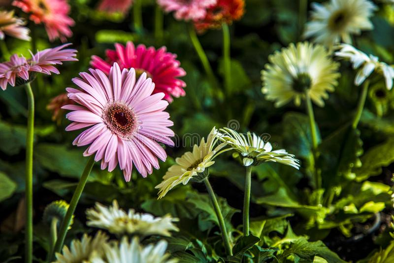 Gerbera flower plant color stock photos