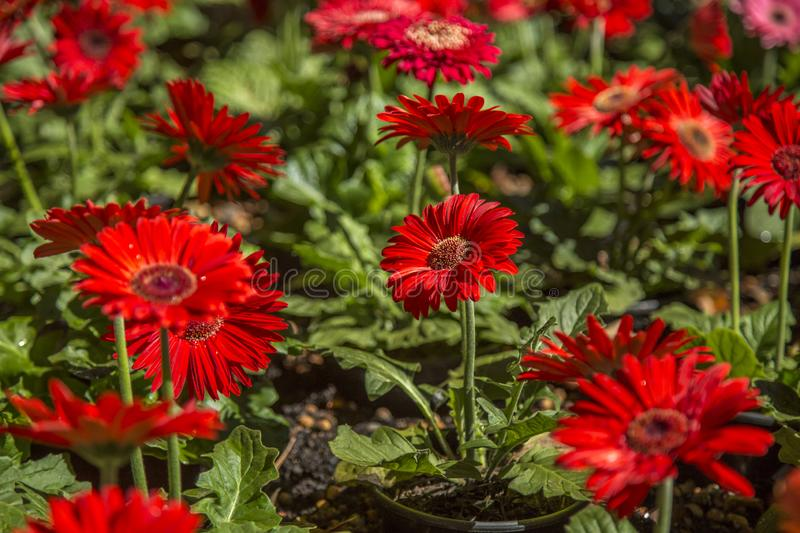 Gerbera flower plant color. Cultive royalty free stock photography