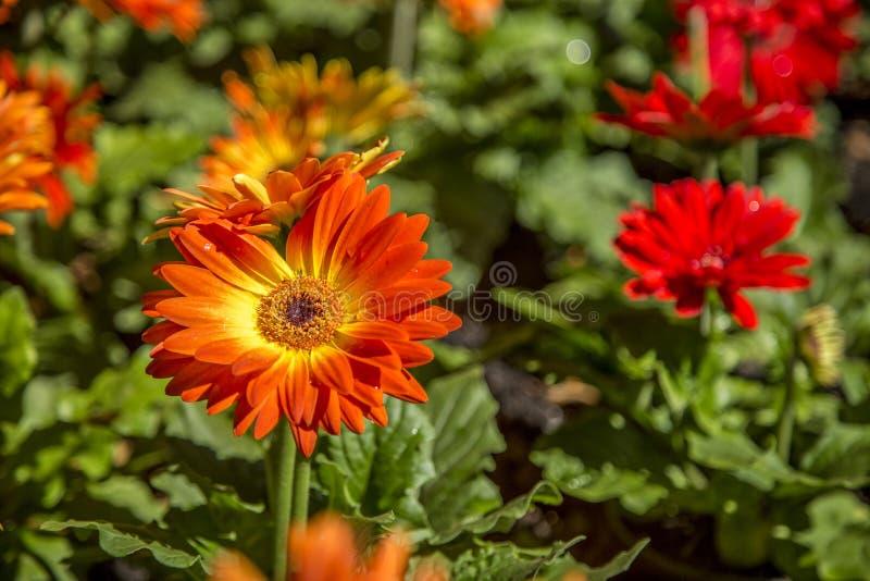 Gerbera flower plant color. Cultive stock photos