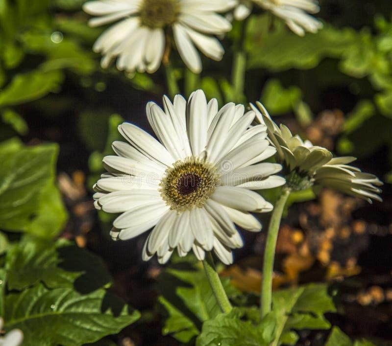 Gerbera flower plant color. Cultive stock photo