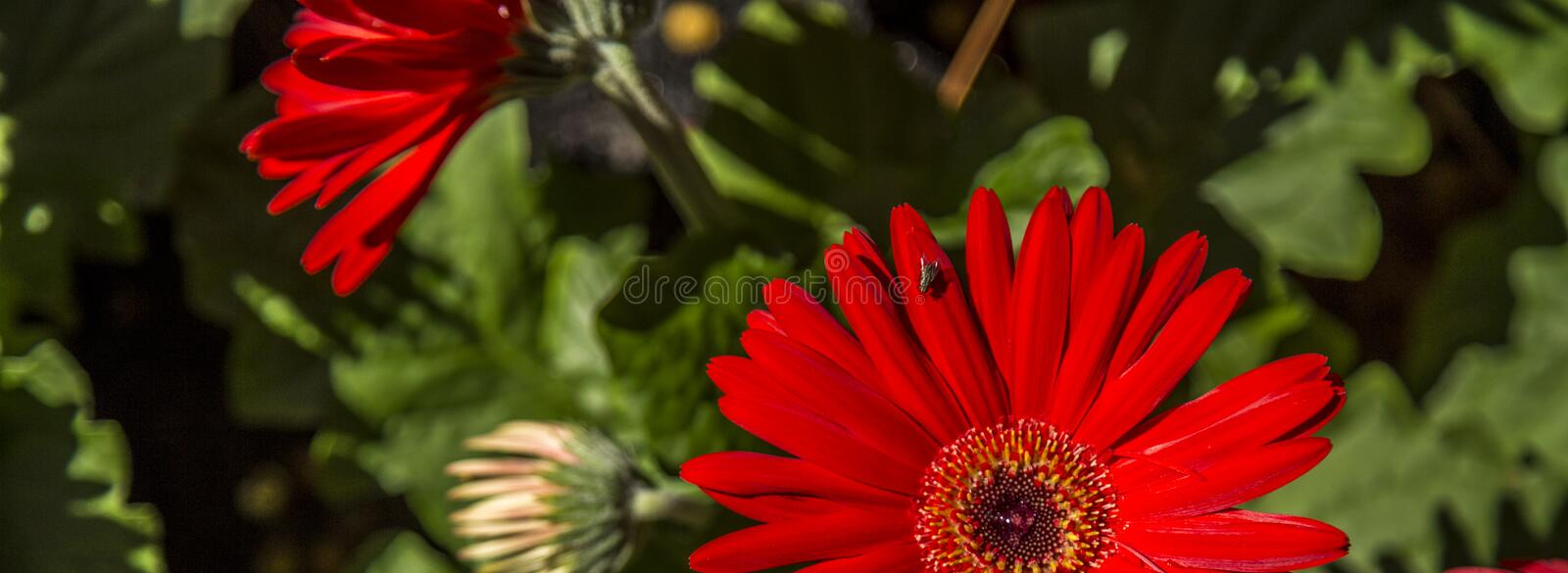 Gerbera flower plant color. Cultive royalty free stock image