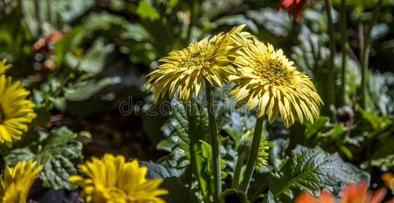 Gerbera flower plant color stock photos