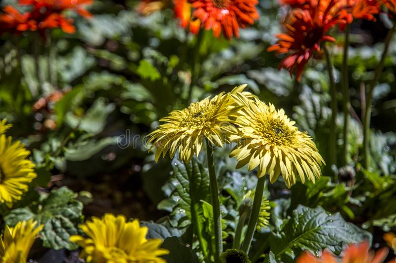 Gerbera flower plant color royalty free stock photography