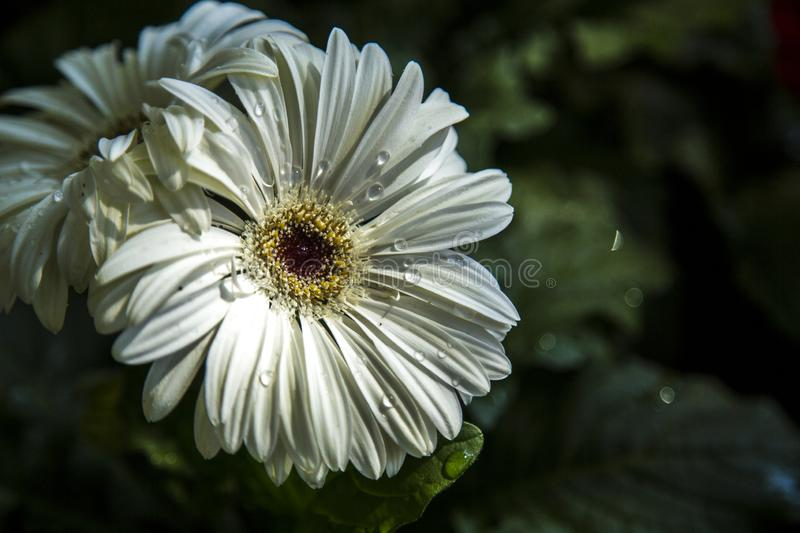 Gerbera flower plant color stock photo