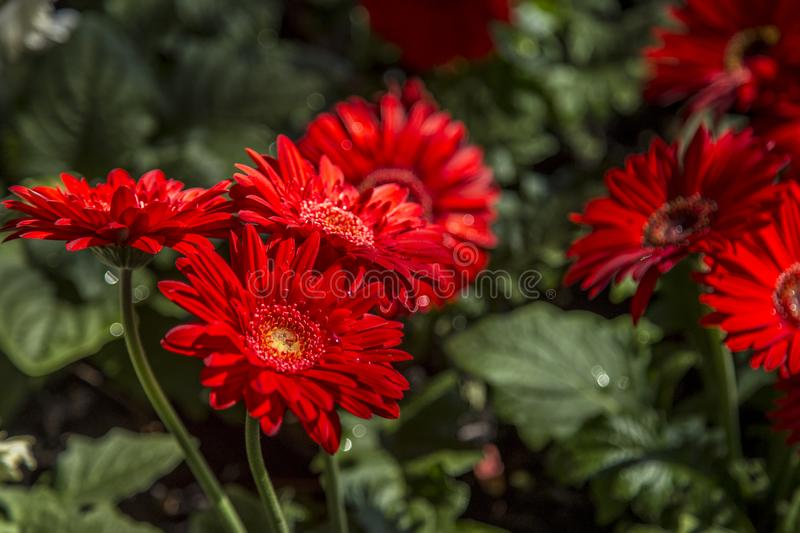 Gerbera flower plant color stock photography