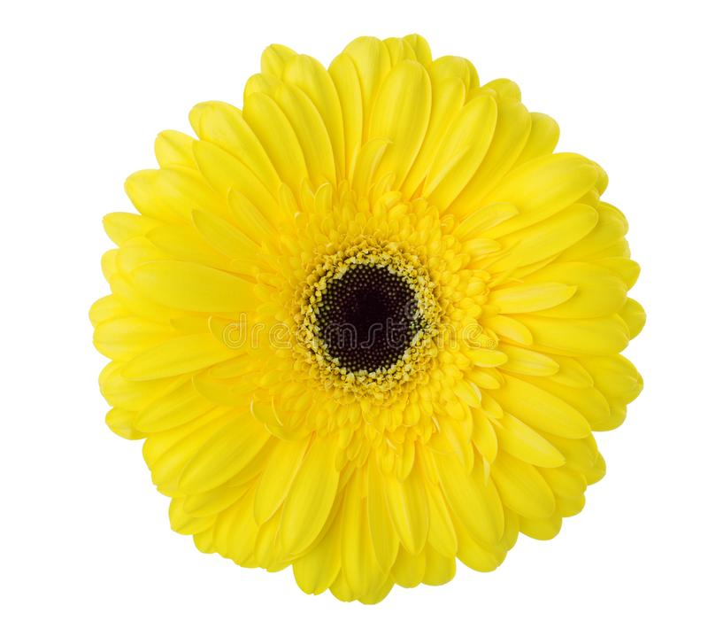 Gerbera flower of yellow color isolated on white background stock image