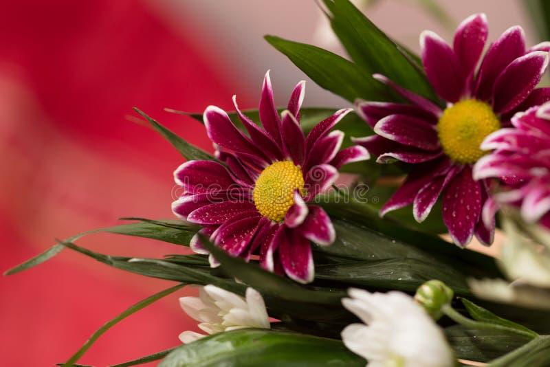 Gerbera flowers closeup. Gerbera flowers with dew drops on petals macro photo royalty free stock photo