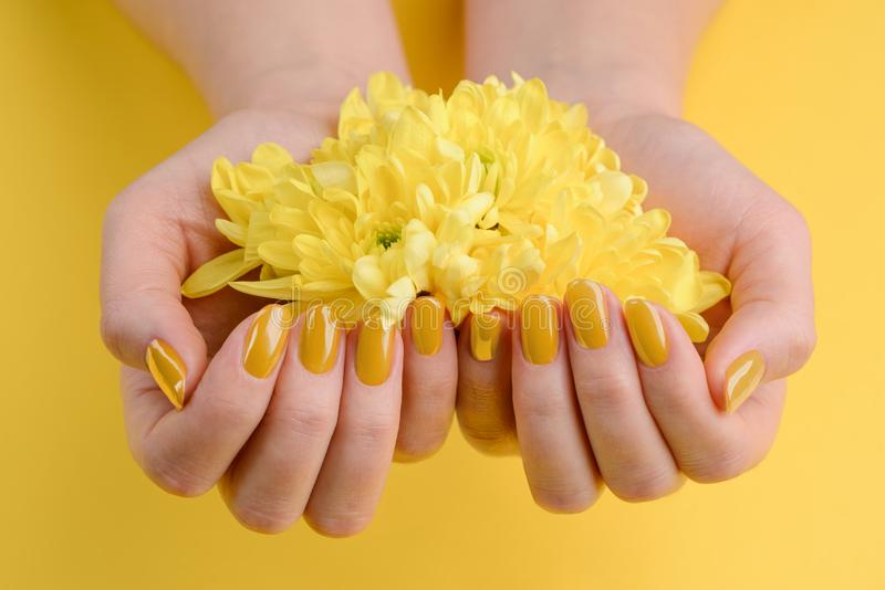 Gerbera flowers in cupped hands. Nails painted with glossy yellow polish. Fashion trend for spring / summer stock image