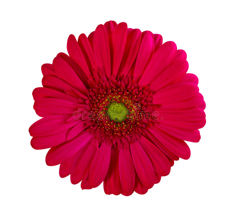 Gerbera flowers. Perfect Red Gerbera Flower Closeup Iso. Gerbera. gerbera flowers. Perfect Red Gerbera Flower Closeup Isolated on White Background stock photos