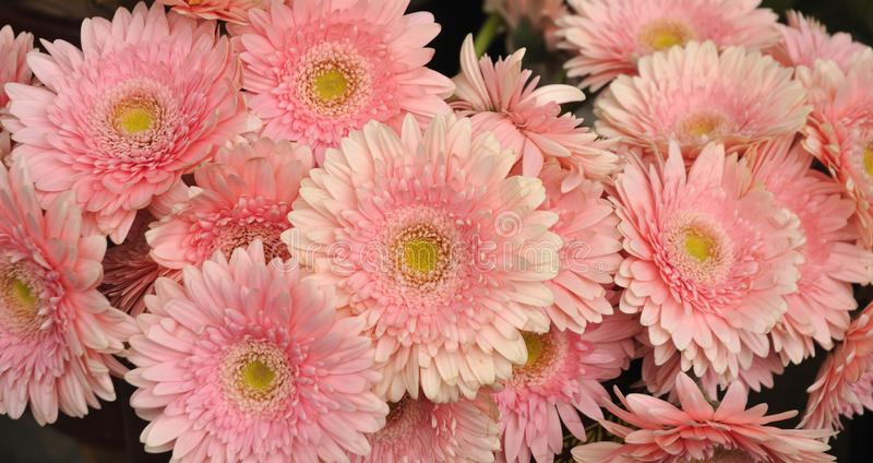 Close-up of a bouquet of pink gerbera stock photo